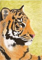 Day 5: Sumatran Tiger ACEO by whitetippedwaves