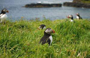 puffin party by Blue-eyed-Kelpie