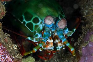 Peacock Mantis Shrimp too by aquanauts74