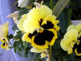 Yellow Pansies by calzephyr