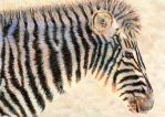 10.12 Zebra at Dawn by theperian