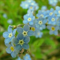 Forget me not... by quicksilverq