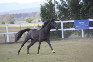 Black arab Side view 3 canter by xxMysteryStockxx