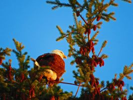 Eagle In Fir Tree At Sunset by wolfwings1