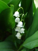 Lily of the Valley by cbettenbender