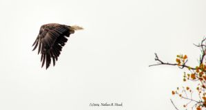 Bald Eagle by abstractcamera