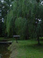 Weeping Willow Reference by AngelaSasser-photos