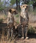 Cheetahs sitting - stock by kridah-stock
