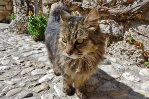 French cat on the street by Dieffi