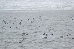 Longtails and Goldeneyes by KandBphotography22