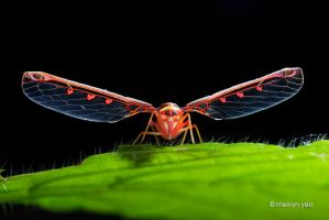 Derbid planthopper by melvynyeo