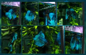 Bartok the Betta by Jullelin