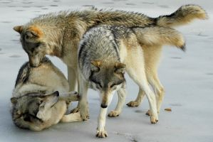 Wolves by ANIMAxphoto
