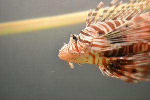 Lion Fish by Just-the-way-Im-not