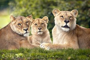 World Lion Day II by Lion-Redmich