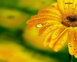 Yellow Flower by Paulyde
