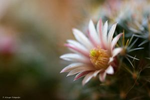 Cactus in bloom by Aphantopus