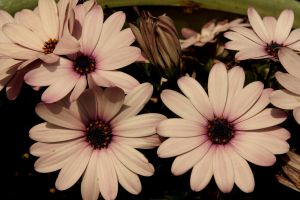 Pretty Pink Daisies by designerfied
