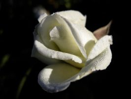 Rose 010916 03 by acurmudgeon