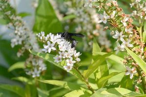 Giant Black Wasp, Sipping Nectar 5 by Miss-Tbones
