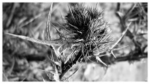 Thistle I by serenitygate