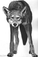 Mexican Red Wolf - Pen and Ink by buffaluffalo