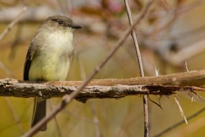 Yellow Bellied Flycatcher 5 by bovey-photo