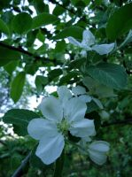 Apple blossom by Kitty-Amelie