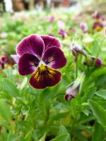 Purple and Gold Pansy by shofawnda