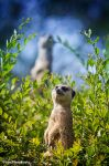 Meerkat by WindyLife