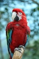 Green Wing Macaw by MegMarcinkus