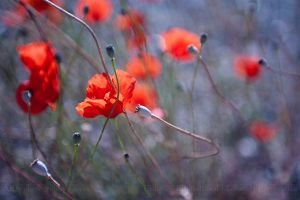 Poppies by aka-photography-uk