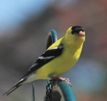 Male American Goldenfinch by paws720