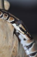 head shot of a snake by tazy01
