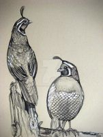 California Quail Sketches by HouseofChabrier