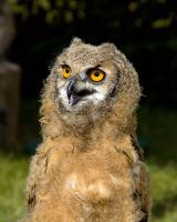 Great Horned Owl by irwingcommand