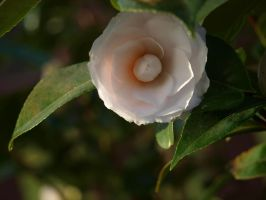 Ice Pink Camellia Stock 04 by botanystock