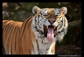 Tiger: Stinky Face by TVD-Photography
