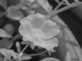 macro iR - flower by redtailhawker