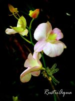 Pink and White Orchid by RustiiAqua