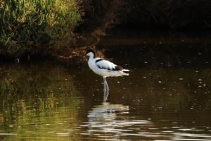 Pied Avocet by Solrac1993