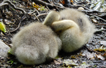 Cuddly Goslings by DragonHaven42