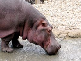 Yes Hippo by squirrellover