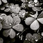Clovers 4 by thenameisCarbon
