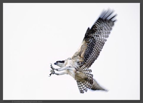 Osprey 4 by kootenayphotos