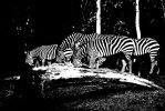 Black with white stripes by dolphintom