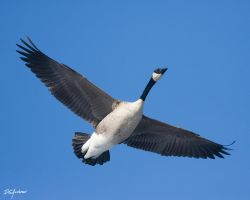 Canada Goose fly over by DGAnder