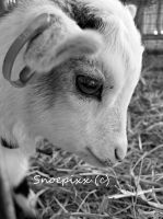 Baby Goat by Snoepixx-Photography