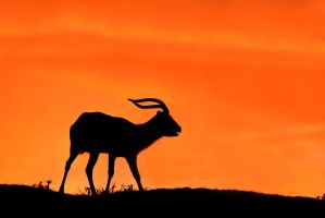 Antelope in the sunset (Upemba lechwe) by AlesGola