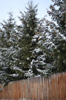 Snow-Covered Trees by Singing-Wolf-12